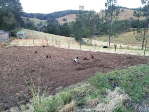 The Chooks helping to weed and fertilise the new veggie patch